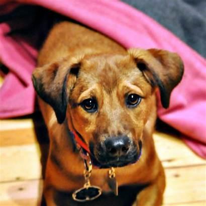 Carolina Dog Breed Characteristics Breeds