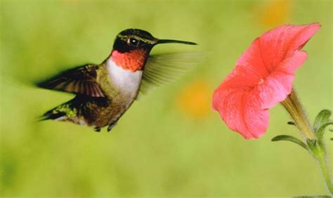hummingbirds birds and a group on pinterest