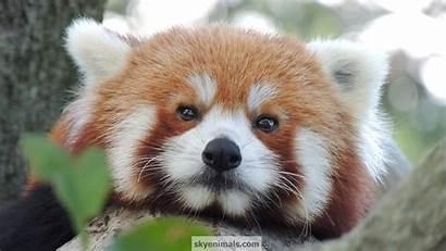 Panda Face Wallpapersafari Wallpapers