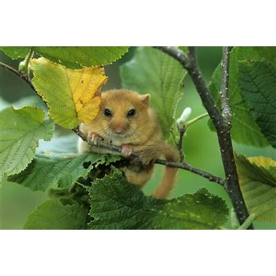 How woodland management affects dormice - Peoples Trust