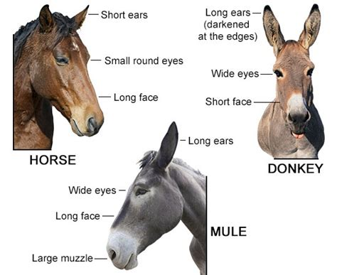 donkey mule horse between difference differences features mules animal ass horses vs donkeys burro differentiate animals clarence history parents appearance