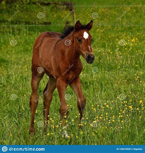 blooded warm foal trotting horse draven paard veulen een animal