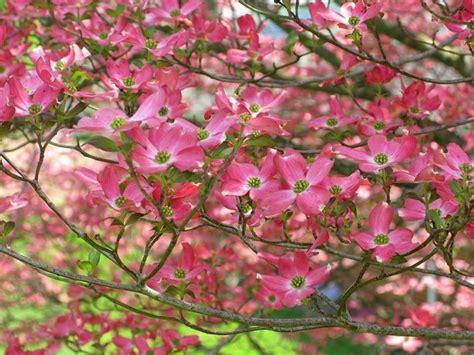 alberi con fiori rosa alberi da fiore piante da giardino alberi da fiore