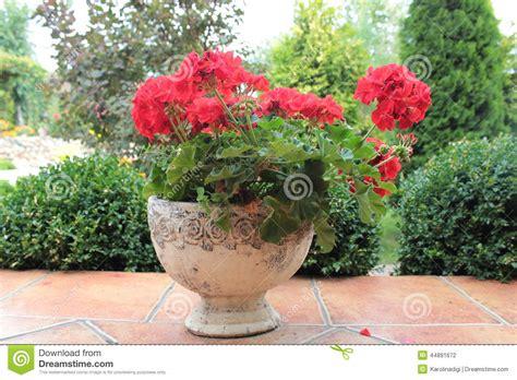 geranium flower in flowerpot stock photo image 44891672