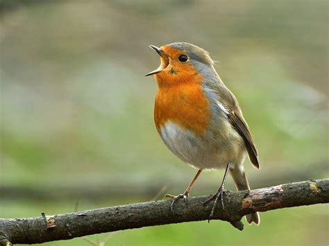 wallpapers in home interiors the robin mating habits behaviour song saga