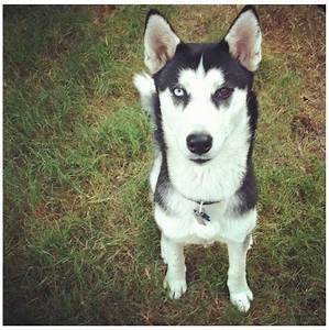 Maya is my one year old 3/4 Siberian Husky and 1/4 Timber ...
