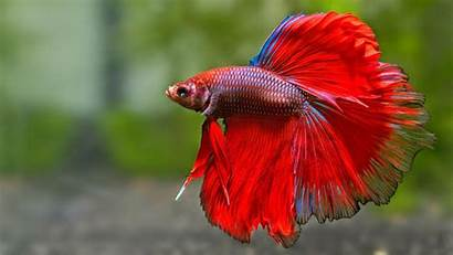 Fish Fighting Betta Siamese Tropical Underwater Psychedelic