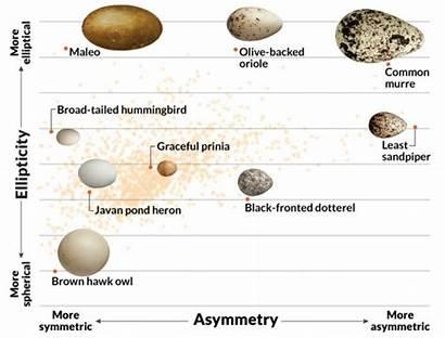 Eggs Bird Shapes Evolving Changed Flight Egg