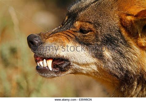 494 best images about animals wolves pinterest
