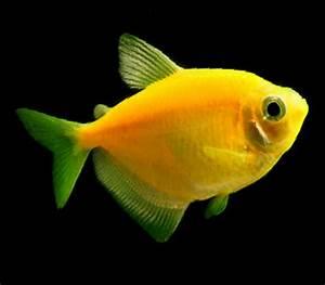 GloFish Tetra for Sale - Glow Fish Tetra for Sale ...