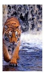 tiger wallpaper 3d,tiger,wildlife,vertebrate,bengal tiger ...