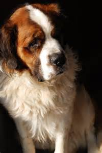 Beethoven Dog Saint Bernard