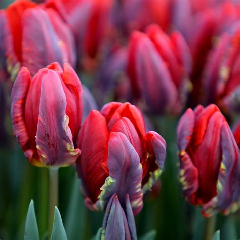 parrot tulip snap photograph buy parrot tulip bulbs tulipa rococo 163 4 99 delivery by crocus