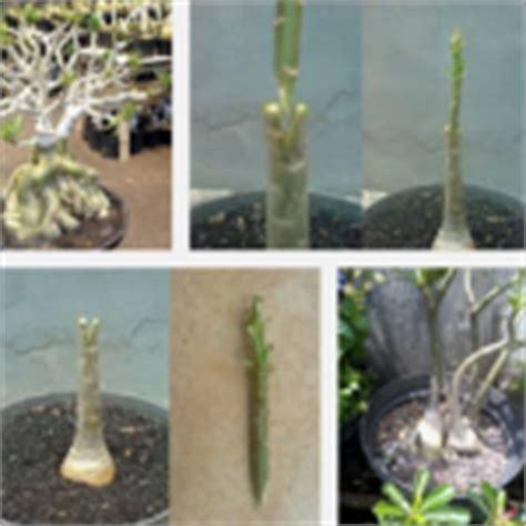 cara setek batang dan semai biji anthurium tanaman bunga