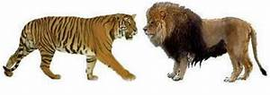 Siberian Tiger Vs African Lion Size