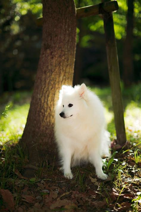 American Eskimo Shedding Season by 1000 Images About Japanese Spitz On Nu Est