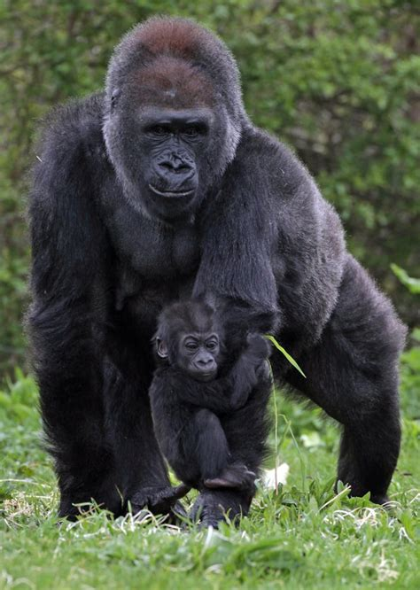 As a member of the smallest subspecies of gorilla, this ...