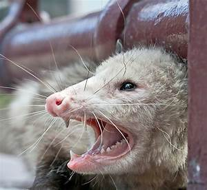 Rabid Possum Related Keywords - Rabid Possum Long Tail ...