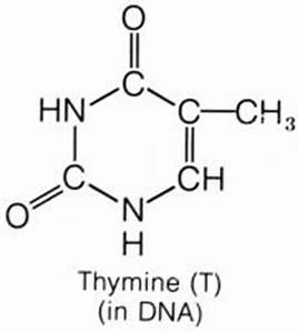 Thymine - EteRNA WiKi