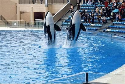 Killer Whales Ocean Park Shanghai Haichang Performing