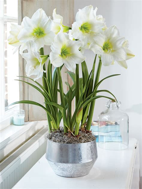 christmas gift white amaryllis trio gardeners supply