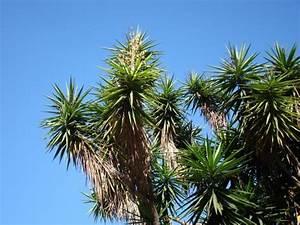 Yucca Palme Winterhart : yucca palme ~ Frokenaadalensverden.com Haus und Dekorationen