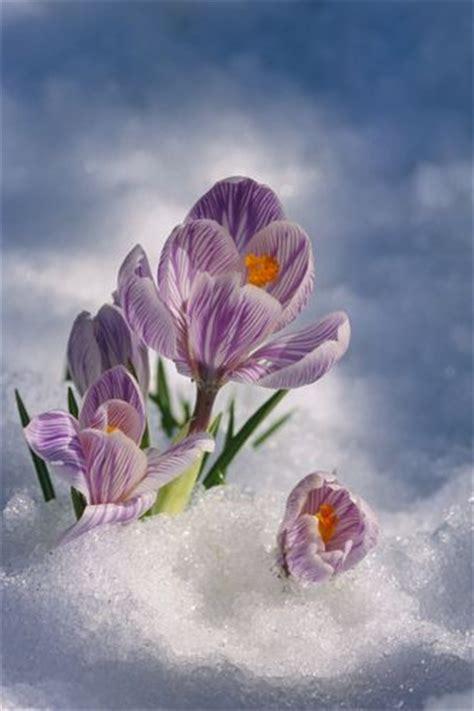 crocus blossom peeking  snow spring portrait