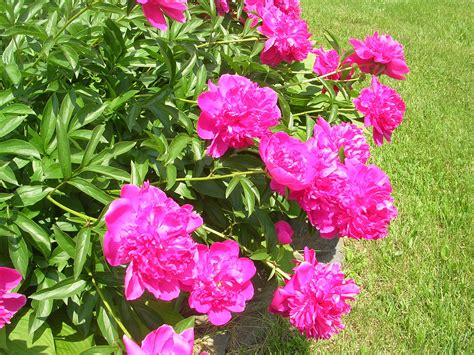grow peonies growing  caring  peonies