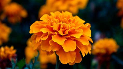 Orange Wallpaper Flower by Amazing Flowers Orange Hd Desktop Wallpapers 4k Hd