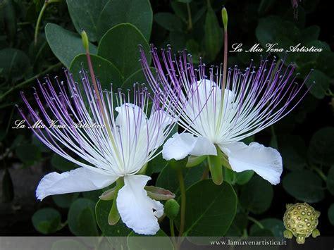 fiori capperi cappero