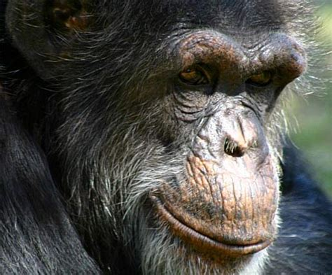 Bili Ape - Mystery Chimpanzee or Gorilla   Animal Pictures ...