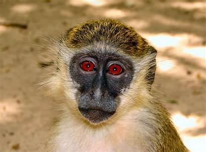 Monkey African Facts Kidney Monkeys Cells Wild