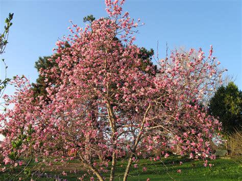 magnoloa tree garden dream magnolia tree propagation
