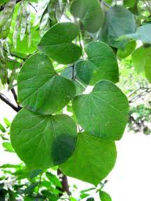 redbud leaf cercis canadensis eastern redbud leaves flickr photo sharing