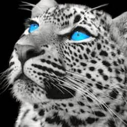 Baby Snow Leopard with Blue Eyes