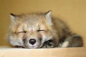 baby red tailed fox | cutest animals & their babies ...