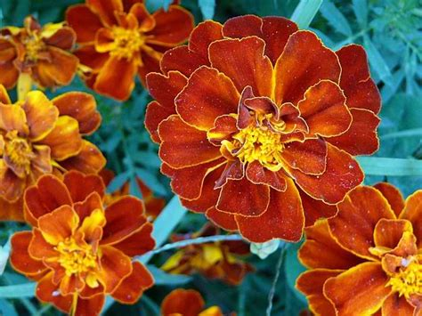 marigold insect repellent 15 natural mosquito repellent plants homesteading home remedies