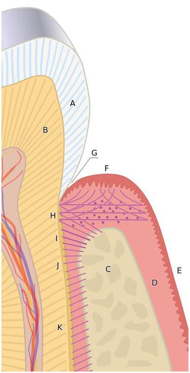 fileperiodontiumsvg wikipedia
