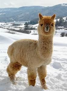 Alpaca   A Lovely And Cute Animal   The Wildlife