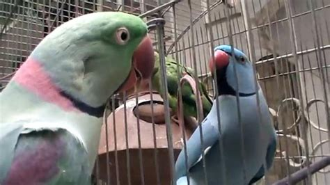 talking parrot weneedfun