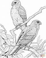 Coloring Pages Falcon Tree Bird Birds Realistic Printable Animal Falcons Trees Drawings 1064 Colouring Canary Excellent Colors Supercoloring Popular Davemelillo sketch template