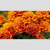 Marigold Flower Wallpaper | 1366 x 768 jpeg 136kB