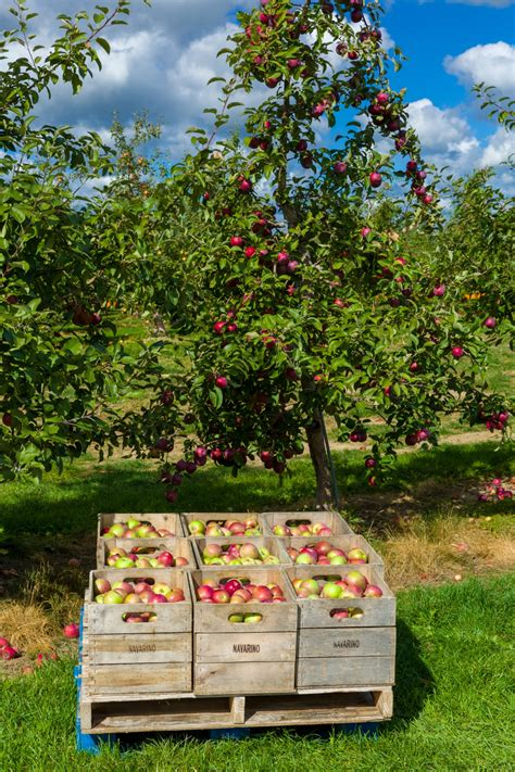 Apple Orchard Free Stock Photo - Public Domain Pictures