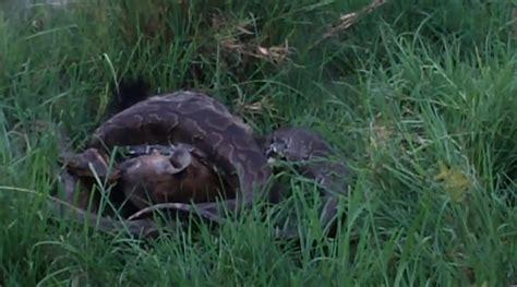 dumpertnl python eet hyena