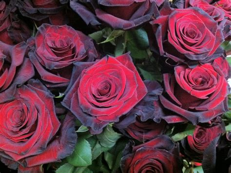 enchanted petal lovely   rose
