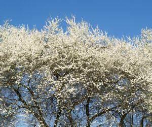 Wieviel Frost Verträgt Die Obstblüte : frostschutz greift obstb ume dennoch weiter von k lte bedroht ~ Frokenaadalensverden.com Haus und Dekorationen