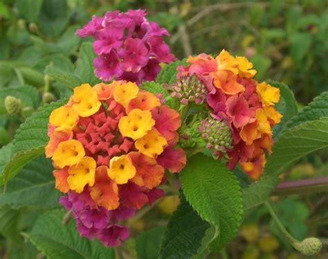 lantana plant size file lantana camara flowers 2 jpg wikimedia commons