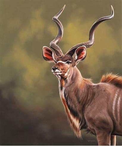 Kudu Bull Animals Wildlife Fouche African Deer