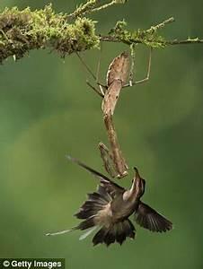 How praying mantises hunt down birds worldwide | Daily ...