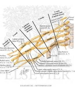 Brachial Plexus Netter